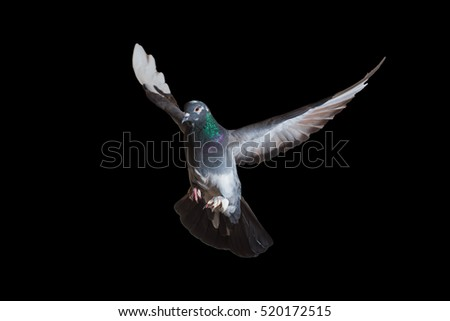 Gray dove in flight isolated on a black background.