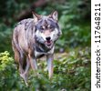 Gray/Eurasian wolf (Canis lupus) - stock photo