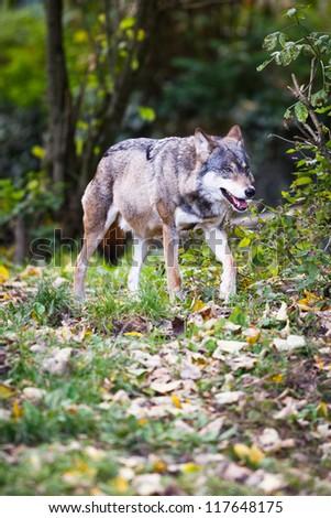 Gray/Eurasian wolf (Canis lupus) - stock photo