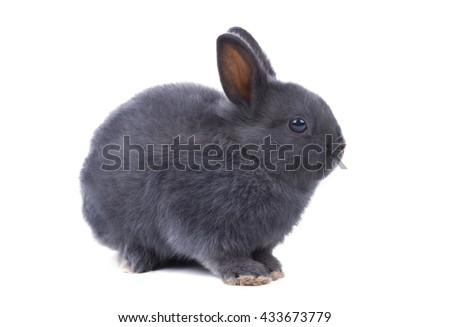 Gray fluffy dwarf rabbit  sits on a white background. Isolated