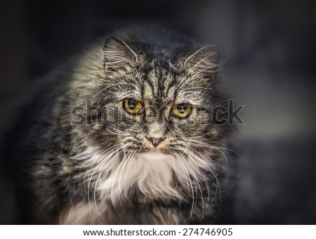 Gray Fluffy house cat staring intensely into the camera on dark home background. - stock photo