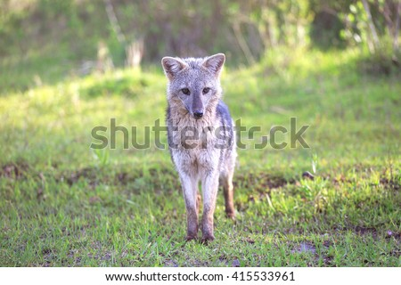 Gray fox, El Palmar National Park, Argentina