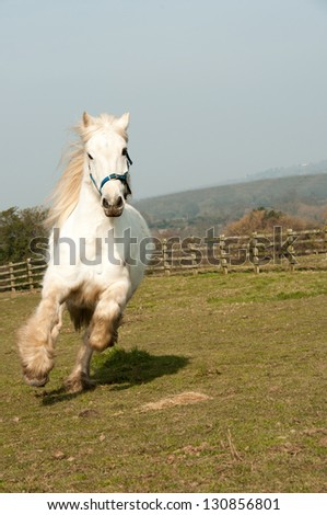 Gray gelding cantering in his paddock - stock photo