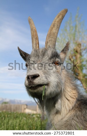 gray goat grazing on grass close up