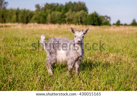 gray goat with small horns grazing in a meadow in the grass on a background of green trees and blue sky
