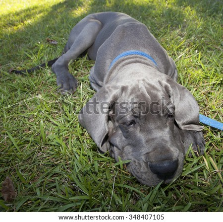 Gray Great Dane puppy tired enough to lay down on the grass