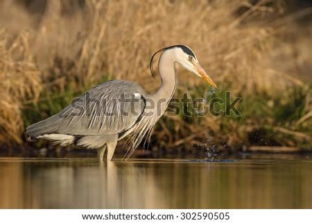 Gray heron ardea cenerea drinking water - stock photo