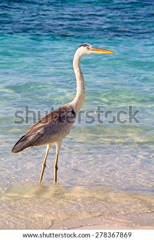 Gray heron fishing at sunset on the beach - stock photo