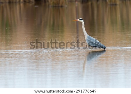Gray heron in front of the small water - stock photo