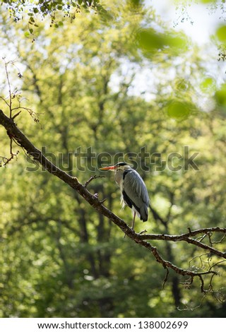 gray heron in tree  - stock photo