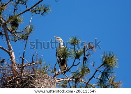 gray heron sitting on a branch of pine - stock photo