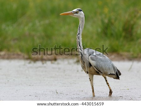 Gray Heron standing in the swamp