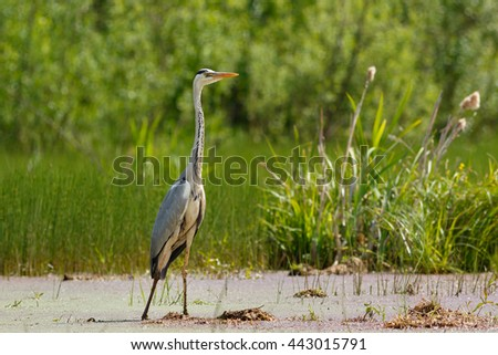 Gray Heron standing in the swamp - stock photo