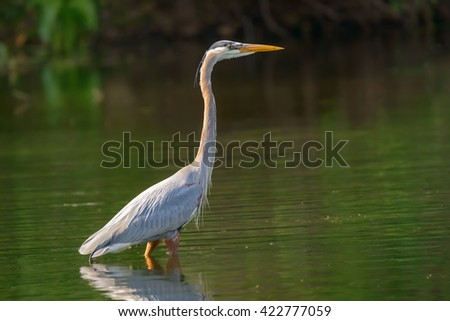 gray heron standing in the water and waiting for food - stock photo