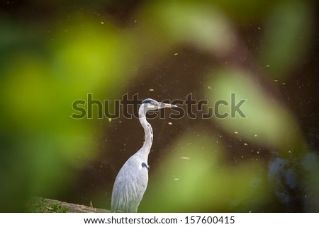 Gray heron waiting for prey - stock photo