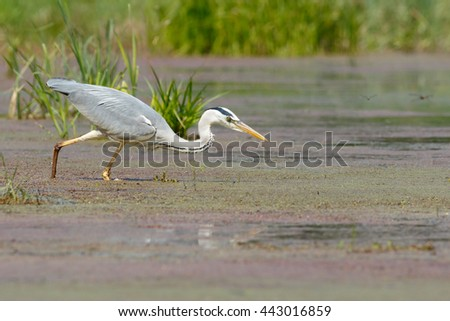 Gray Heron walking in the swamp