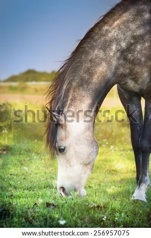 Gray horse grazed , close up - stock photo