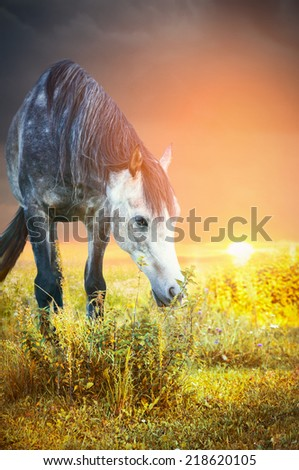 Gray horse grazing at sunset and eating nettles  - stock photo