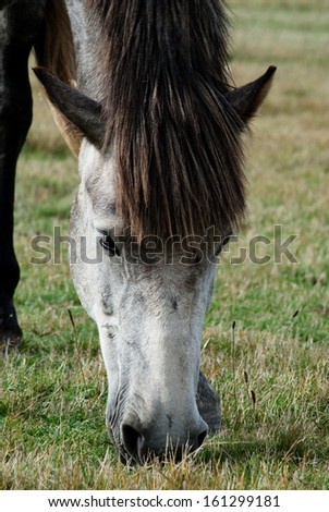 Gray horse in the meadow - stock photo