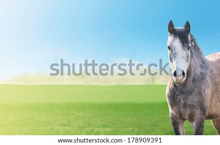gray horse on a background green spring pastures, blue sky, banner - stock photo