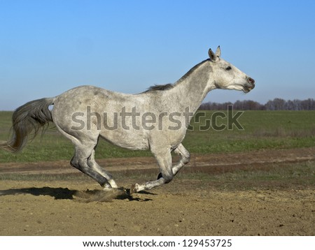 Gray horse running on the background of blue sky