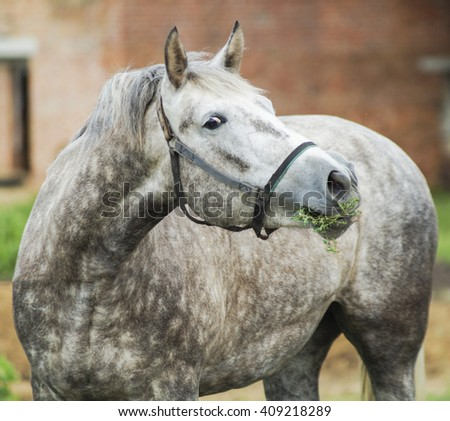 gray horse with spots on the fur are standing on the house background