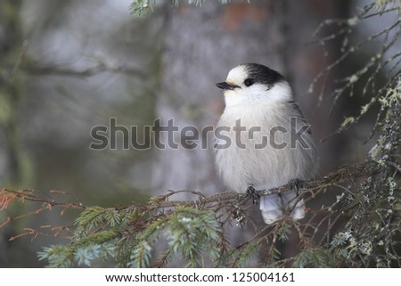 Gray Jay in winter in Algonquin Provincial Park, Ontario.