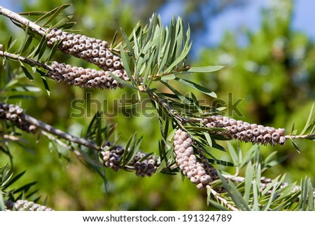 Gray kidneys on a branch of an evergreen tree - stock photo
