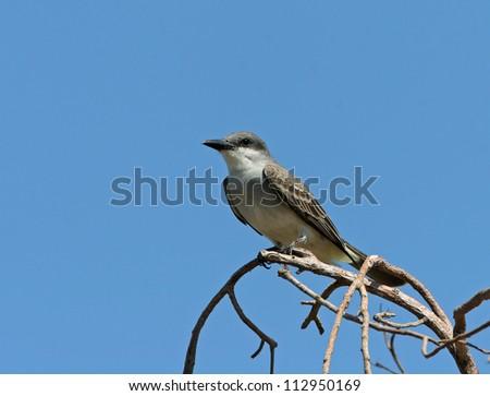 gray kingbird - stock photo