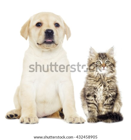 gray kitten and puppy Labrador