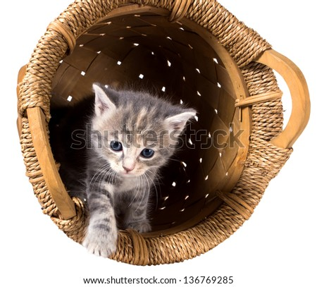 Gray kitten in the overturned basket isolated on a white background - stock photo