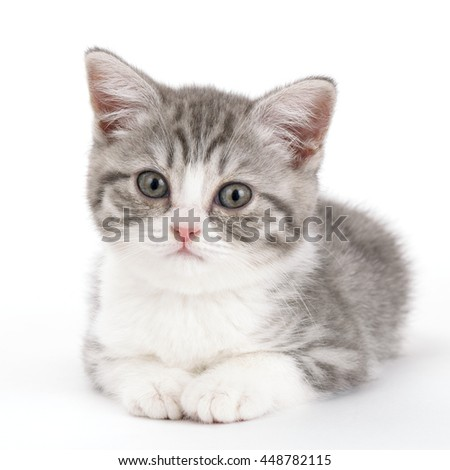 Gray kitten lies on a white background and looking straight ahead. Portrait of the Scottish cat.