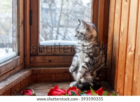 Gray kitten looking out the window. Red roses. Winter.  - stock photo