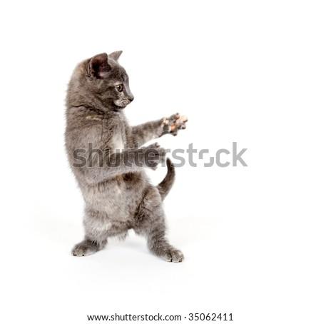 Gray kitten looks like it is dancing on white background - stock photo