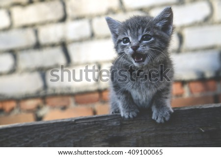 gray kitten meows