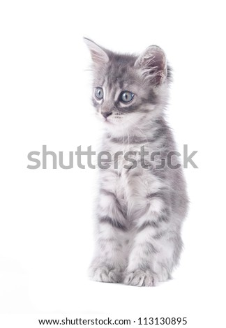 gray kitten on a white background