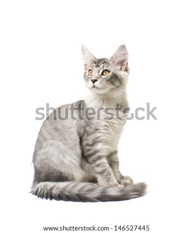 gray kitten on a white background - stock photo