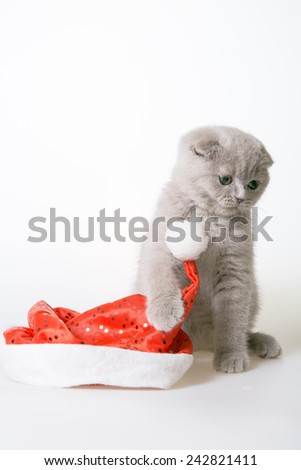 gray kitten on a white background near Santa Claus hat. Gray kitten Scottish Fold. Christmas cat. - stock photo