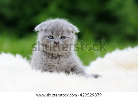 Gray kitten on fur white blanket in meadow - stock photo