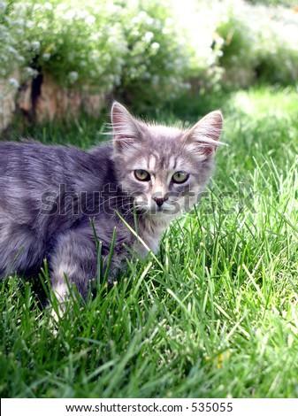 gray kitten on lawn - stock photo