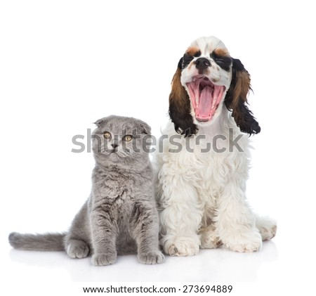Gray kitten sitting with yawning Cocker Spaniel  puppy. isolated on white background