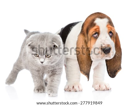 Gray kitten standing with basset hound puppy. isolated on white background