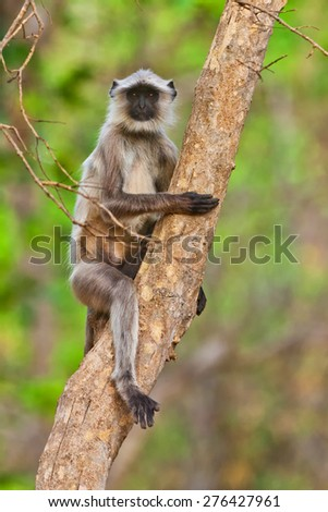 Gray Langur also known as Hanuman Langur in the Bandhavgarh National Park in India. Bandhavgarh is located in Madhya Pradesh. Indian langurs are lanky, long-tailed monkeys. - stock photo