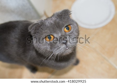 Gray lop-eared Scottish Fold cat is asking for food near empty plate - stock photo