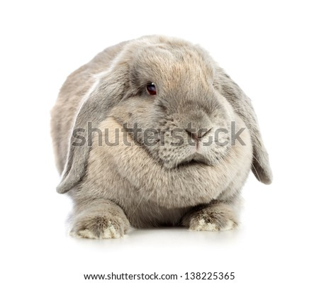 gray lop-earred rabbit, isolated on white background
