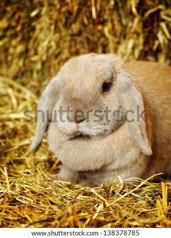 gray lop-earred rabbit on hayloft, close up - stock photo