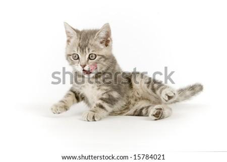 Gray marmoreal scottish breed kitten on white ground - stock photo