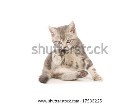 Gray marmoreal scottish breed kitten on white ground