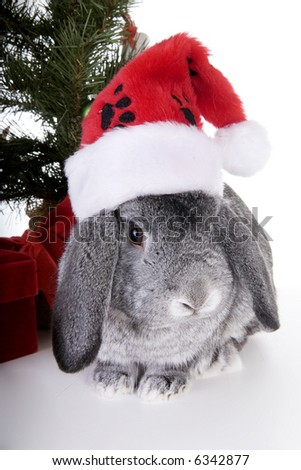 Gray Mini Lop Ear rabbit with Christmas tree and gifts and wearing red and white stocking hat, isolated on white background