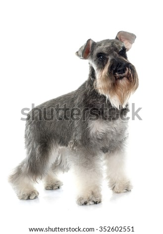 gray miniature schnauzer in front of white background
